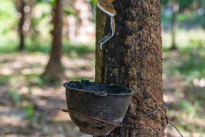 Milchsaft des Kautschukbaums Hevea brasiliensis