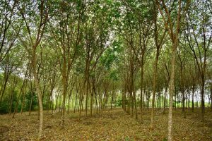 Een groot veld met rubber bomen | Hevea Brasiliensis